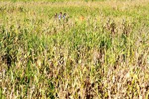 Corn Maze at Lollie - Mayflower, Arkansas